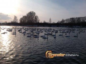 Лебединое озеро в новогодние праздники (заказник Лебединый)
